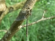 Gomphe joli (Gomphus pulchellus) Mâle. [CC0 Motte Grégory]