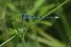 Agrion mignon (Coenagrion scitulum) Mâle. [copyright Garin Michel]