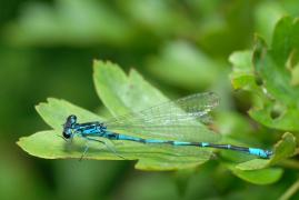 Agrion gracieux