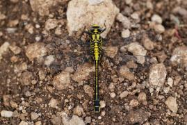 Gomphe vulgaire (Gomphus vulgatissimus) M&#226;le. [copyright San Martin Gilles]