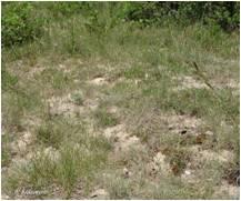 pelouse calcaire de sable xérique - 6120
