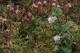Flore de tourbière haute active - Vaccinium vitis-idaea et Vaccinium oxycoccos [copyright Ghiette Pascal]