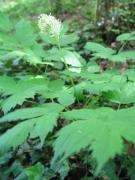 Actaea spicata [copyright Wibail Lionel]