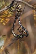 Aeschne des joncs (Aeshna juncea) Mâle et femelle accouplement. [copyright Simon Luc]