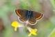 Collier-de-corail (Plebeius agestis) [CC by-sa San Martin Gilles]