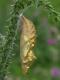chrysalide de Petite tortue (Aglais urticae) [copyright Baugnée Jean-Yves]
