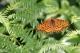Grand Nacré (Argynnis aglaja) [CC by Fichefet Violaine]