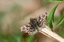 Grisette (Carcharodus alceae) [CC by Fichefet Violaine]