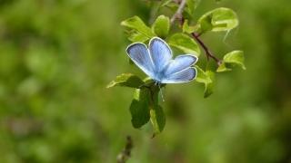 Argus bleu-violet