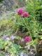 Allium sphaerocephalon [copyright Wibail Lionel]