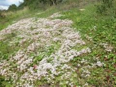 Communauté à espèces annuelles et succulentes des substrats rocheux thermophiles [copyright Delescaille Louis-Marie]