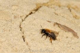Andrena clarckella