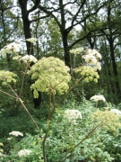 Angelica sylvestris 2
