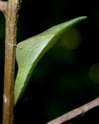 Anthocharis cardamines chrysalide sur Alliaria petiolata.jpg