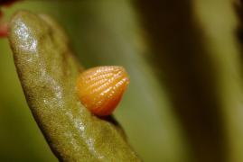 oeuf de Nacré de la canneberge (Boloria aquilonaris) (Largeur = 0.7mm) [CC by-sa San Martin Gilles]