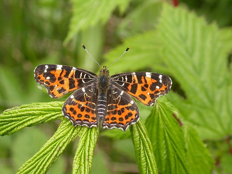 carte g ographique araschnia levana papillons diurnes insectes la biodiversit en wallonie. Black Bedroom Furniture Sets. Home Design Ideas