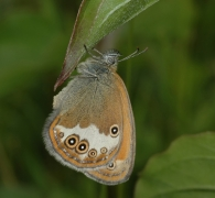 Céphale (Coenonympha arcania) [copyright Steeman Chris]