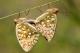 accouplement de Grand Nacré (Argynnis aglaja) [CC by-nc-sa Schoeters Fonny]