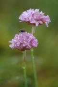 Armeria maritima subsp. halleri