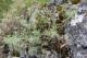 Artemisia alba [copyright]