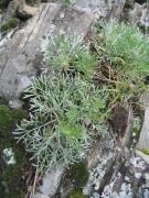 Artemisia campestris [copyright]