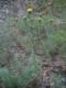 E1.28 - Pelouses xériques des rochers calcaréo-siliceux