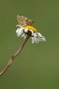 Damier aurélie (Melitaea aurelia) [CC by-nc-nd Christophe Benjamin]