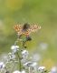 Damier de la succise (Euphydryas aurinia) [CC by Fichefet Violaine]