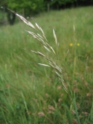 Avenula pubescens