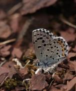 Argus pointillé (Pseudophilotes baton) [CC by Fichefet Violaine]