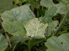 hibernarium de Grisette (Carcharodus alceae) sur Malva sylvestris [copyright Baugnée Jean-Yves]