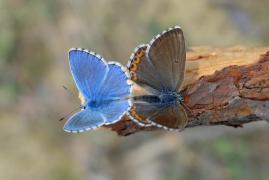 accouplement de Bleu céleste (Polyommatus bellargus) [CC by-sa San Martin Gilles]