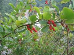 Berberis vulgaris [copyright Wibail Lionel]