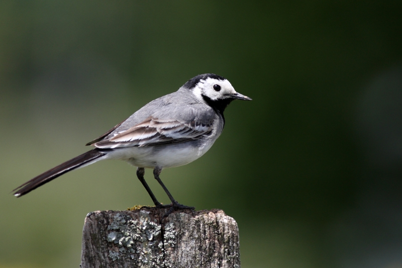 Bergeronnette grise motacilla alba oiseaux vert br s la biodiversit en wallonie - Natagora oiseaux de nos jardins ...