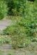 C3.52 - Végétation pionnière nitrophile des grèves humides