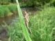 Caloptéryx éclatant (Calopteryx splendens) Exuvie. [copyright Mayon Nicolas]