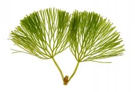 feuilles Cabomba caroliniana [CC by Kieft Ben]