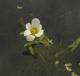 fleur Cabomba caroliniana [CC by Johan Van Valkenburg]