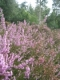 Calluna vulgaris [copyright Wibail Lionel]
