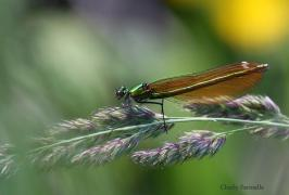 calopteryx_virgoCFa0509.jpg