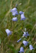 Campanula rotundifolia [copyright]