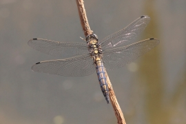 Orth&#233;trum r&#233;ticul&#233; (Orthetrum cancellatum) M&#226;le immature [copyright Rouck Jean]