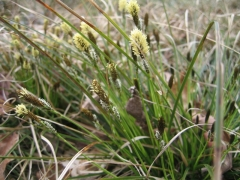 Carex caryophyllea [copyright Wibail Lionel]