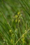 D2.22 - Bas-marais à [Carex nigra], [Carex canescens] et [Carex echinata]