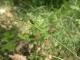 Carex flacca.jpg