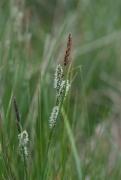 Carex nigra [copyright]