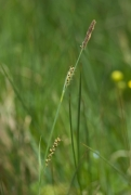 Carex panicea [copyright]