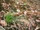 Carex pilulifera