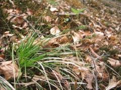 Carex pilulifera [copyright Wibail Lionel]