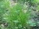 Carex remota [copyright]